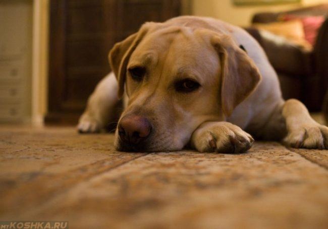 Апатичный пёс лежащий на полу
