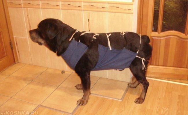 Бандаж синего цвета на собаке