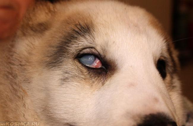 Бельмо на глазу у собаки светлого окраса