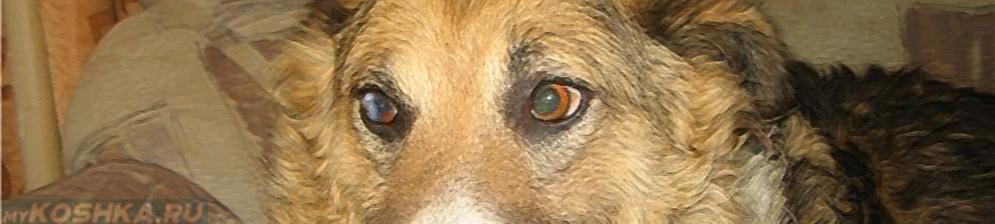 Бельмо на левом глазе у собаки