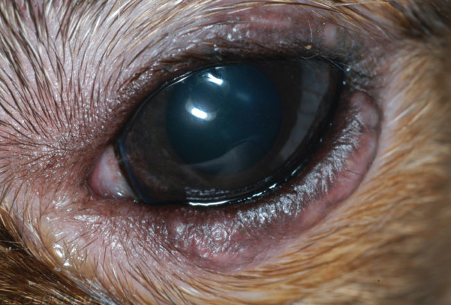 Слезотечение из глаз собаки бельмо