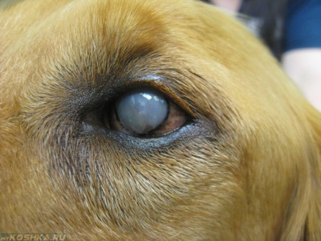 Бельмо на глазу у собаки вблизи