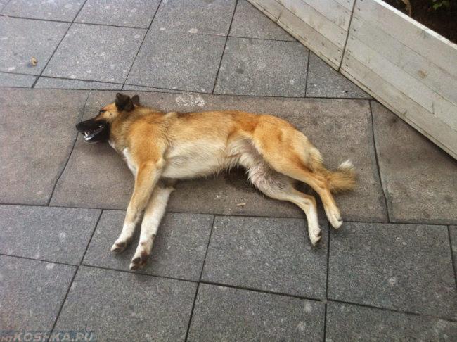 Собака на полу без сознания в эпилептическом припадке
