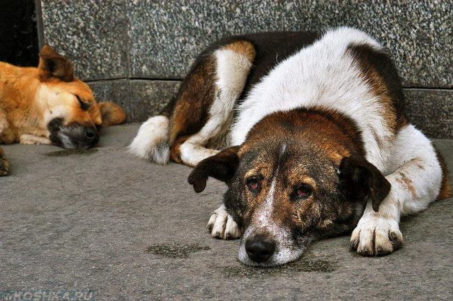 Бездомные псы лежащие на полу