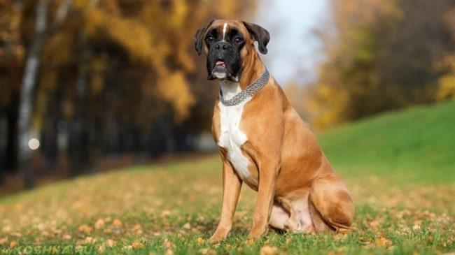 Собака породы боксёр на траве