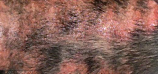 Дерматит на коже спины у собаки