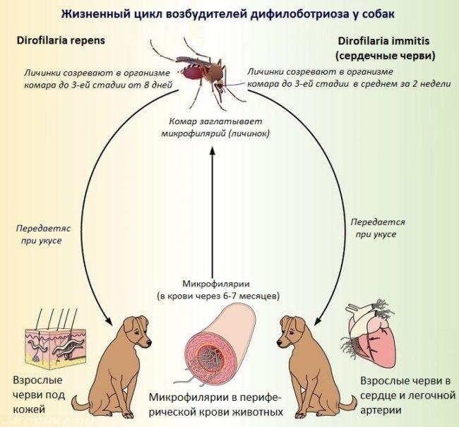 Жизненный цикл возбудителей дирофиляриоза