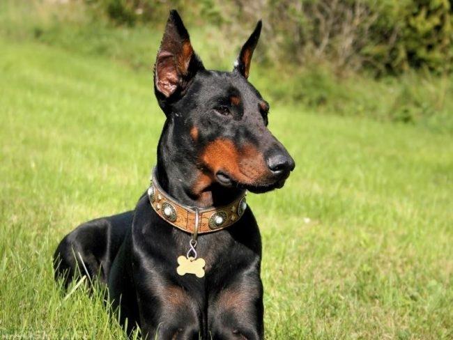 Собака породы доберман