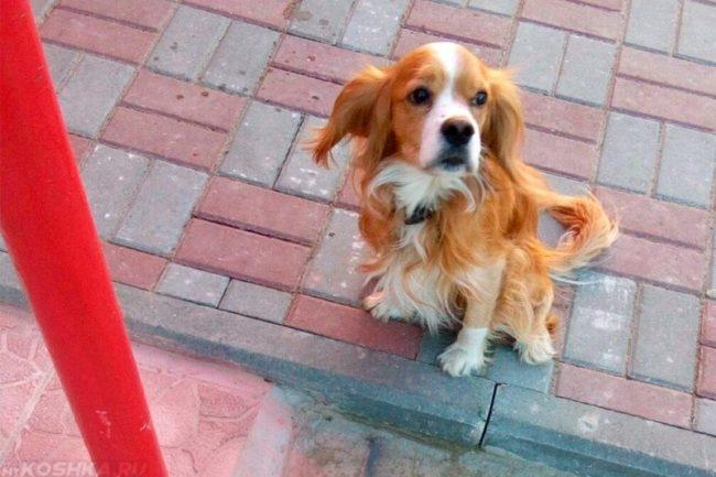 Домашняя рыжая с белым собака