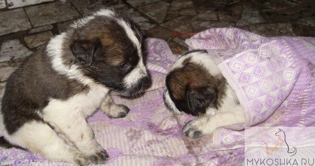 Два щенка под одеялком лежат