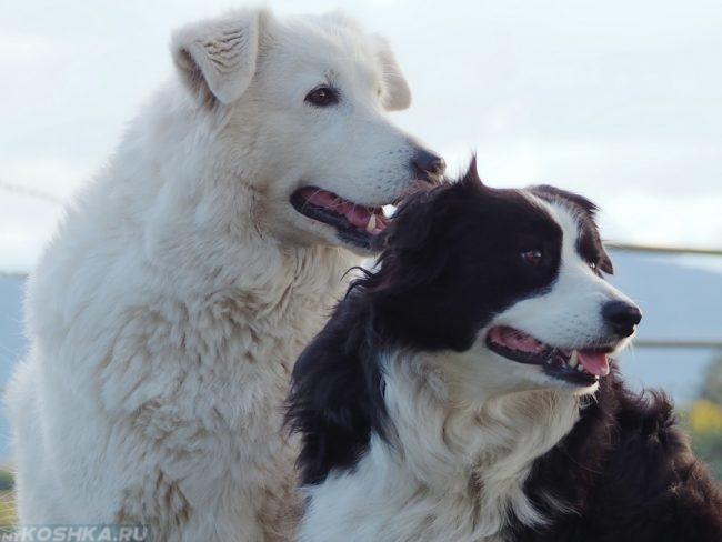 Две собаки светлого и тёмного окраса