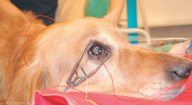 Электроретинография глаза у собаки