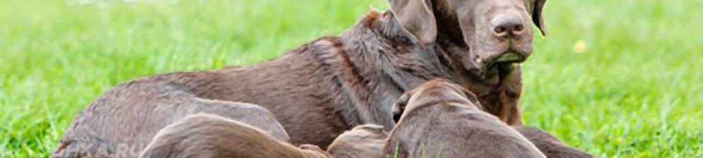 Эндометрит у кормящей собаки