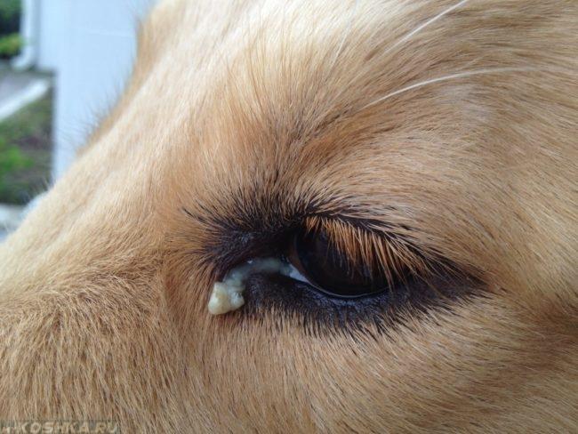 Гной из глаз у собаки в приближенном виде