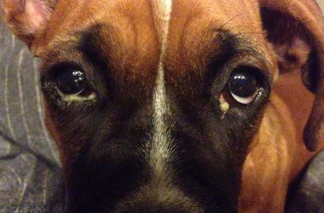 Гной из глаз у собаки коричневого окраса