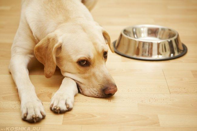 Собака лежащая у пустой миски