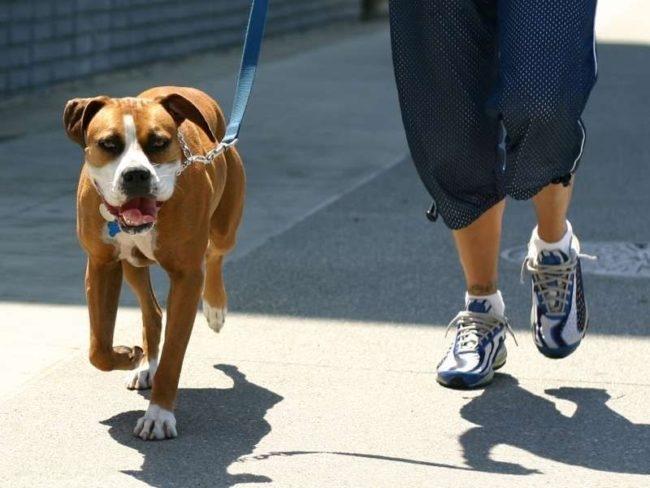 Выгул пса на синем поводке