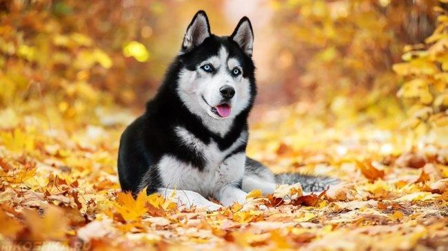 Собака породы хаски осенью
