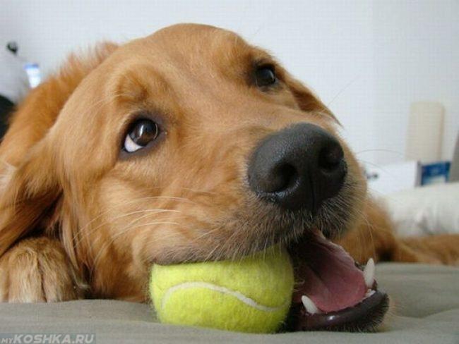 Собака и жёлтый мячик в пасти