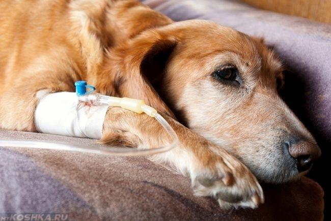 Капельница поставленная собаке