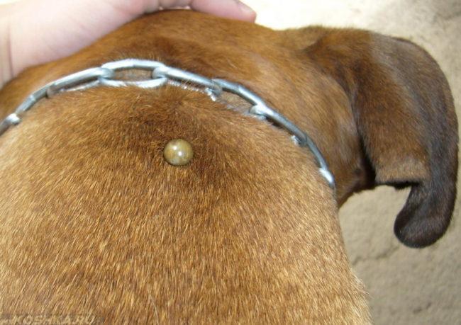 Клещ укусивший собаку в затылок
