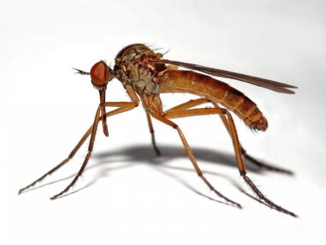 Инвазированный комар на белом фоне