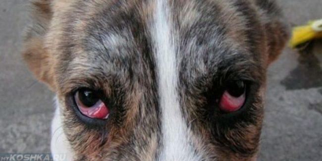Конъюнктивит у собаки на глазах
