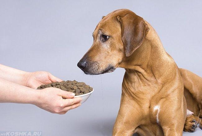 Сухой корм в миске и собака