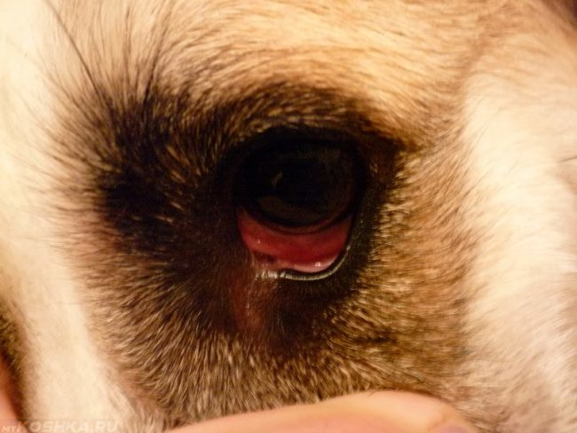 Покраснение глаз у собаки при язве роговицы