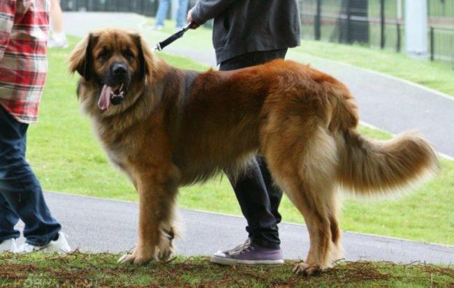 Собака крупной породы на поводке