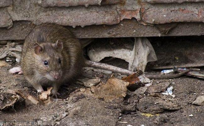 Дикая серая крыса с длинным хвостом