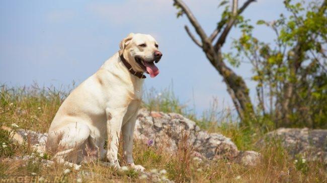 Собака породы лабрадор на природе