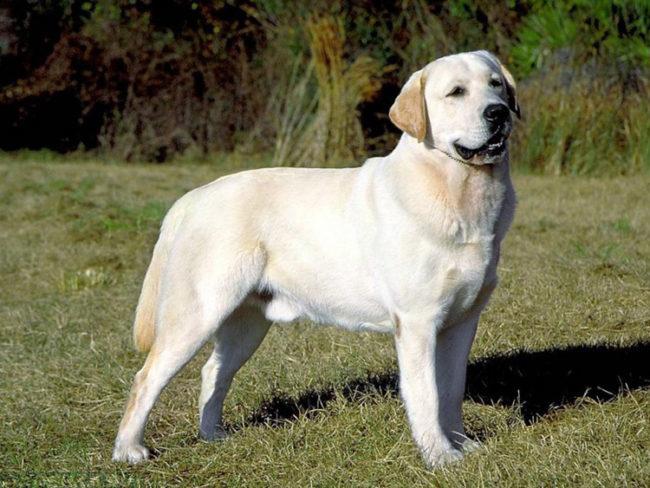 Собака породы лабрадор на траве