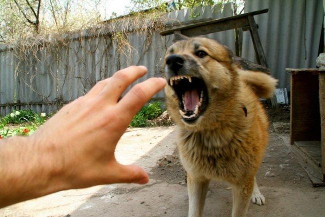 Рука и лающая собака коричневого окраса