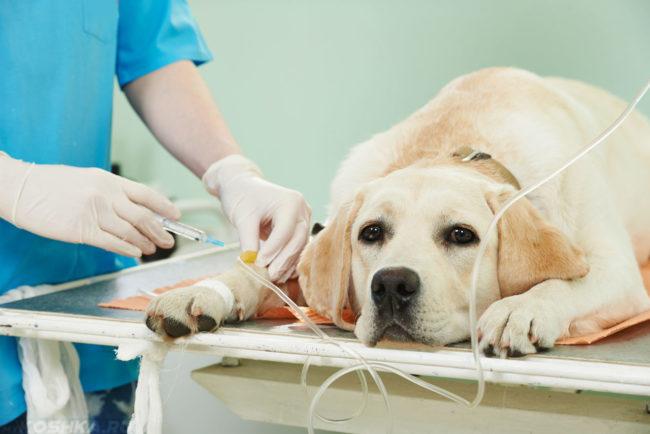 Собака под капельницей в клинике