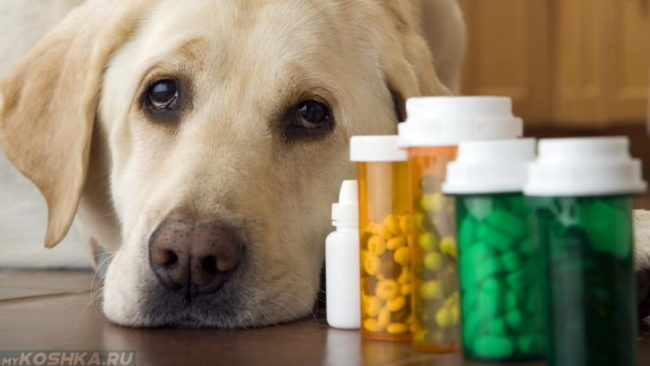 Собака и антибиотики в баночках