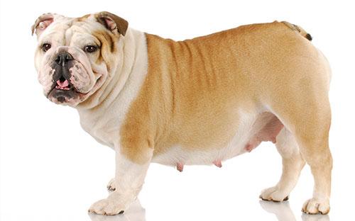 Собака породы Мопс с набухшими сосками