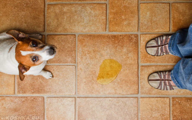 Жёлтая лужа оставленная собакой
