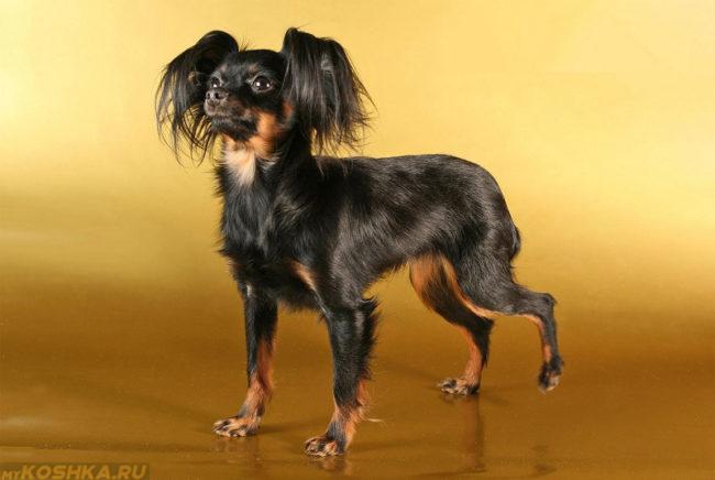 Собака породы русский той