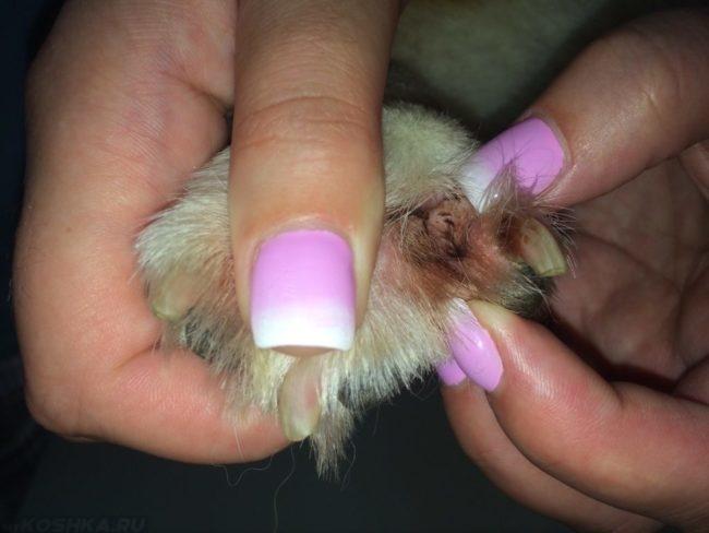 Межпальцевый дерматит у собаки