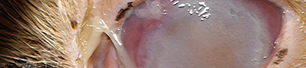 Микоплазмоз у собаки на глазе вблизи