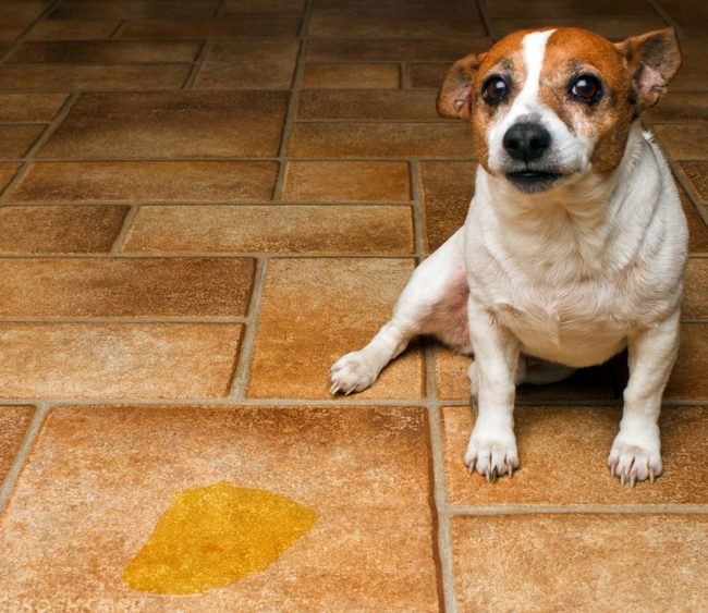 Моча жёлтого цвета и собака