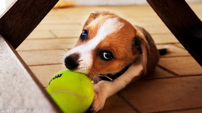 Щенок играющий мячиком