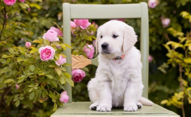 Щенок белого окраса на стуле