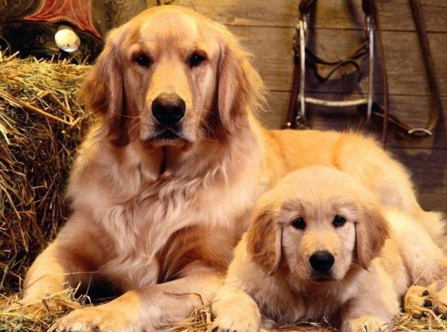 Собака и щенок светлого окраса