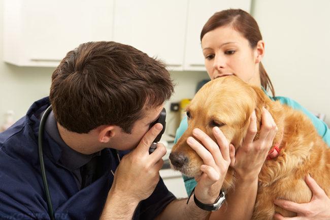 Осмотр глаз собаки ветеринаром