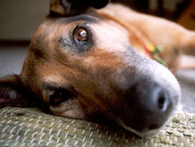 Собака лежащая на своём боку