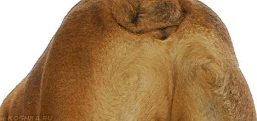 Параанальные железы собака породы бульдог