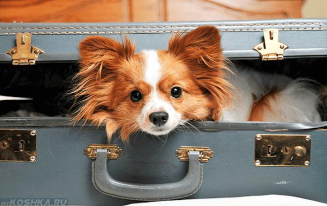Собака сидящая в чемодане