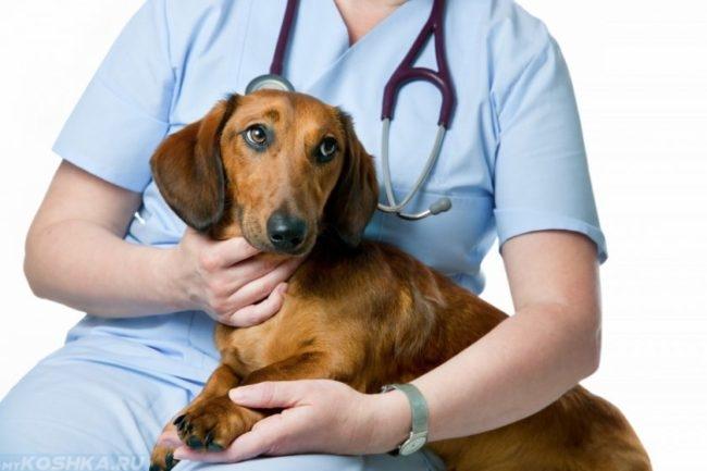 Собака коричневого окраса и ветеринар